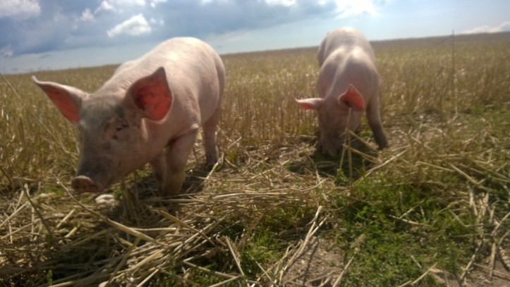 Picture has nothing to do with the post, except that I saw these pigs while I was out running.